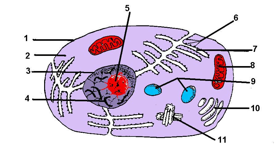 Cell Diagram To Label Made By Creative Label