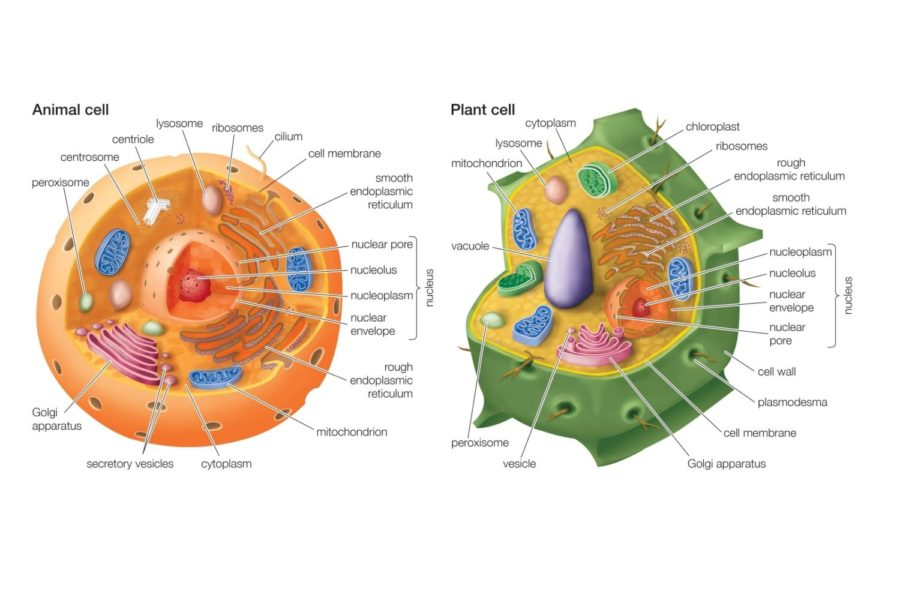 Detailed Plant Cell Diagram Labeled Diagram Of Animal Cell And Plant