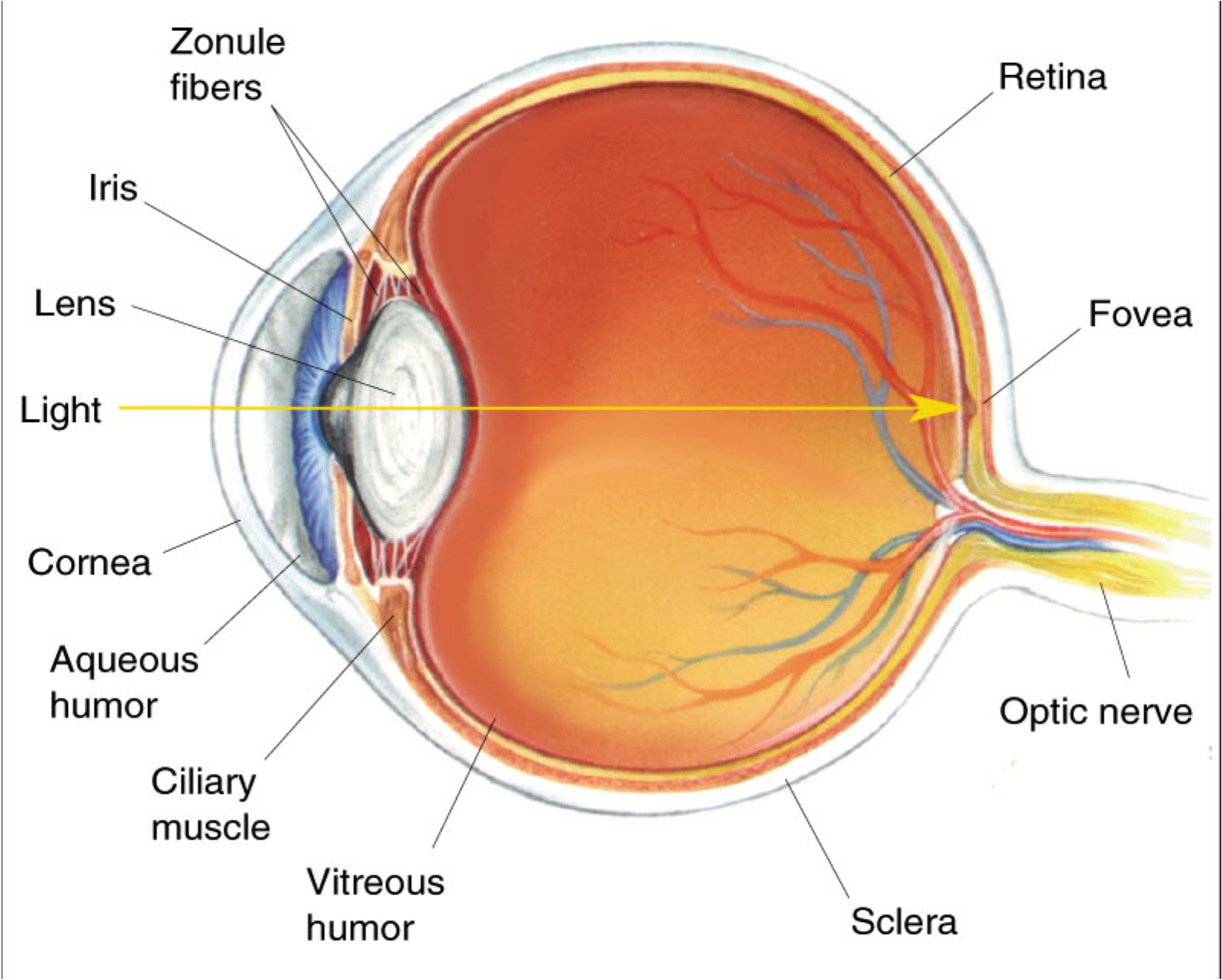 diagram eye label endearing picture of the human eye with labels diagram  without label