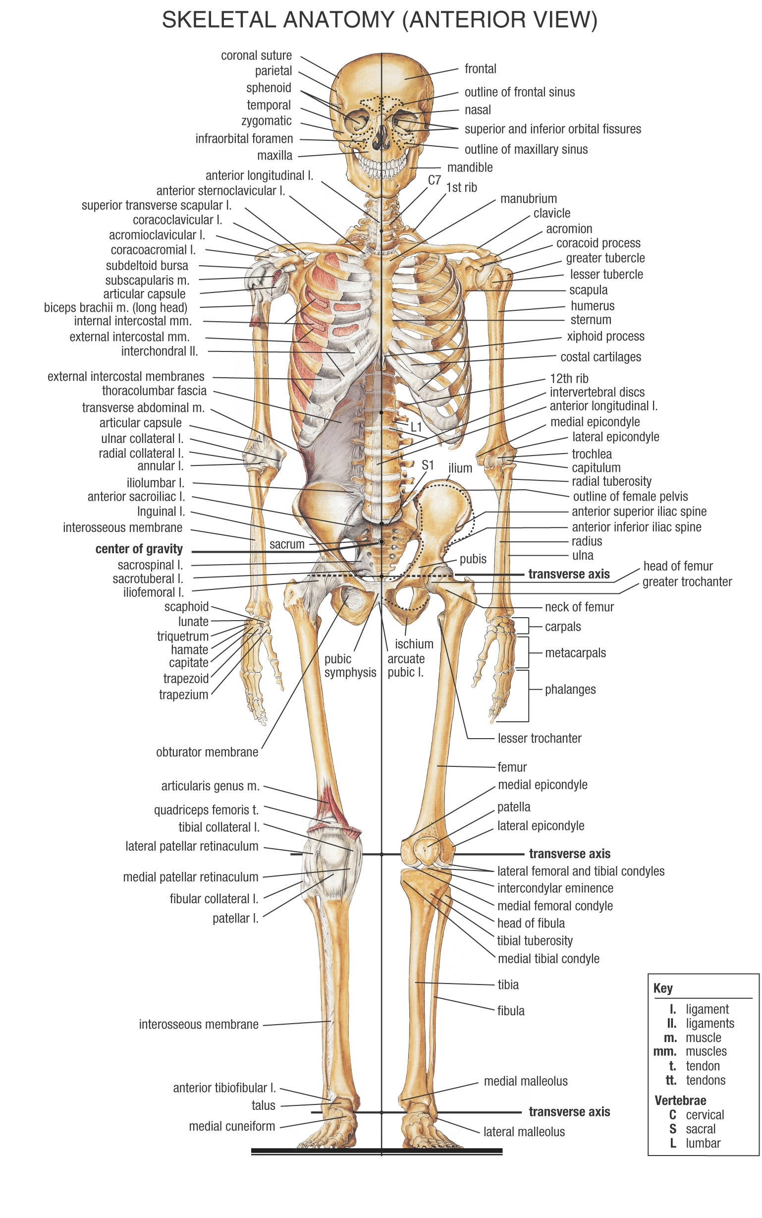 Human Bones Diagram Labeled Made By Creative Label