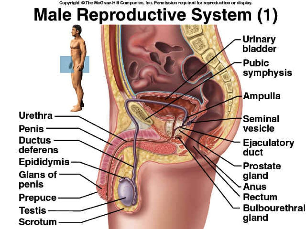 Label Male Reproductive System Diagram Male Reproductive Organs