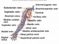 Labeled Diagram Of Arm Veins
