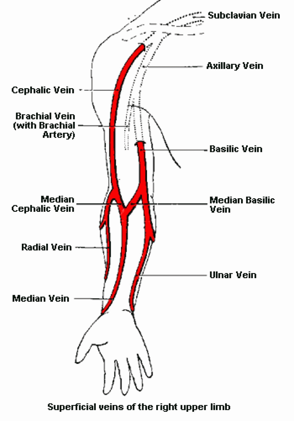 Labeled Diagram Of Arm Veins Diagram Of Veins And Arteries In The