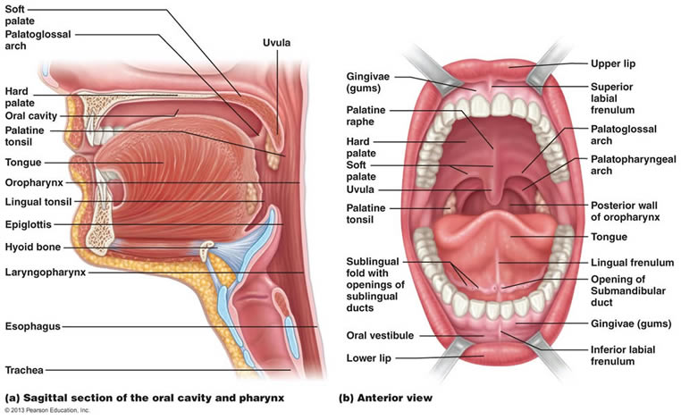 Labeled Diagram Of The Oral Cavity Humanbodydigestivesys Structures