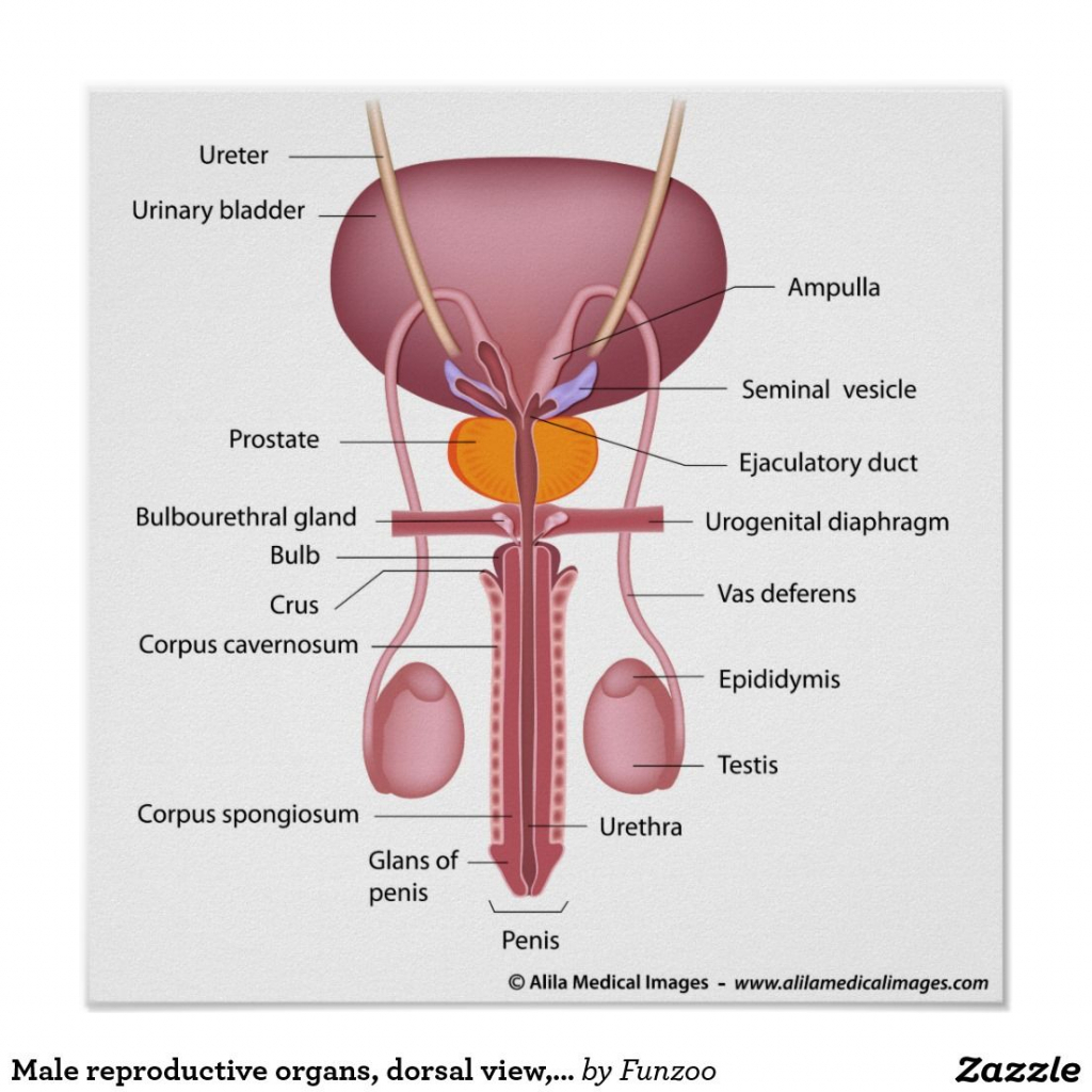 Male Reproductive System Front View Labeled Human Male Reproductive