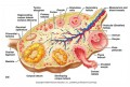 Ovary Diagram Labeled