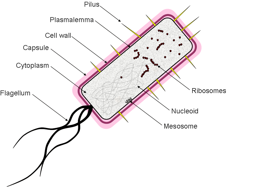 Prime Prokaryotic Cell Diagram With Labels Cell Biology Prokaryotic Cell Wiring Cloud Oideiuggs Outletorg