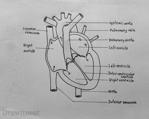 Simple Diagram Of Human Heart With Labels Humanheart Made By