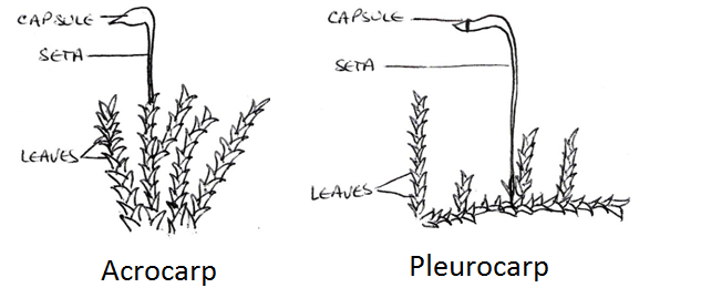 well labelled diagram of a liverwort leafy and thallose1