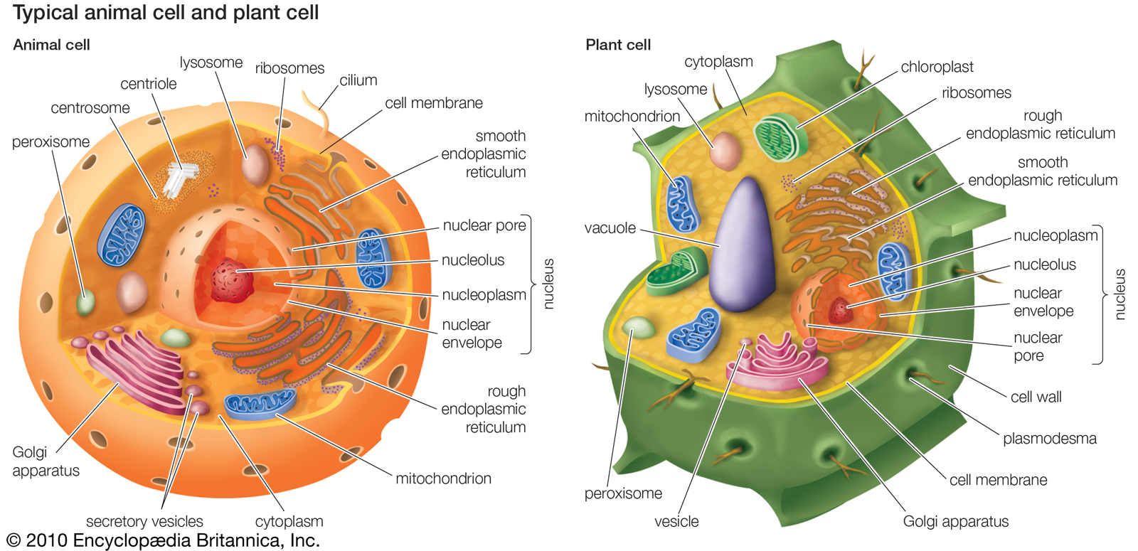 Animal Cell And Plant Labeled Plantvsanimal Made By Creative Membrane Diagram Without Labels