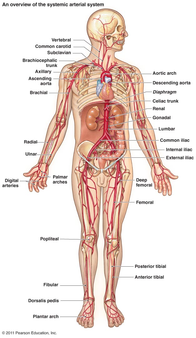 Arteries Labeled Diagram Human Anatomy Vein Labeled Diagram To Label