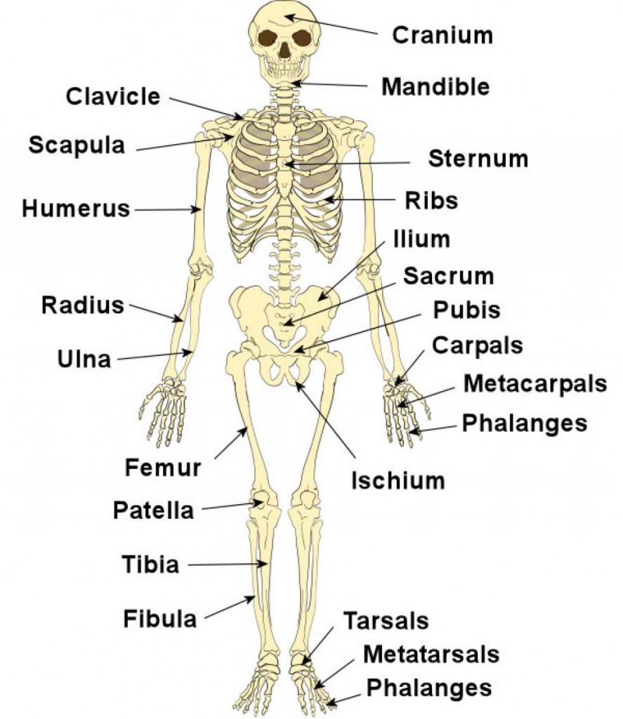Bones Of The Body Labeled Bones Of The Skeleton Photos Bones Labeled