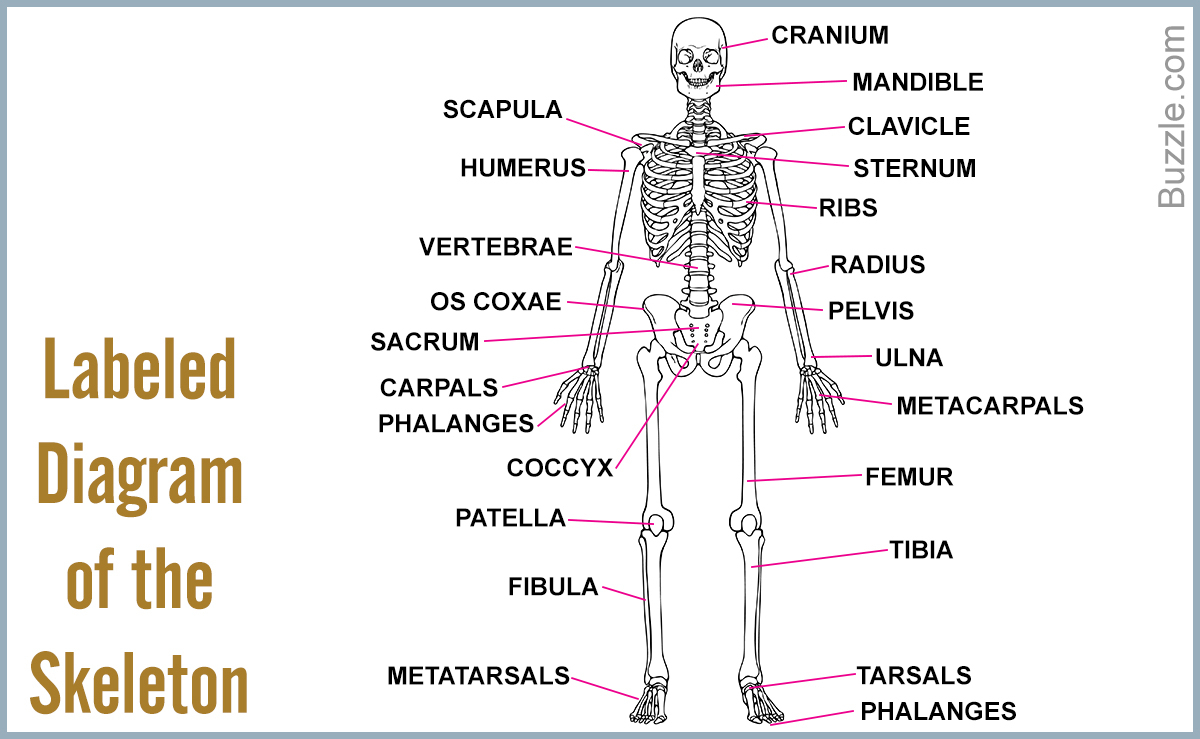 Bones Of The Body Labeled All The Bones In The Body Labeled Body