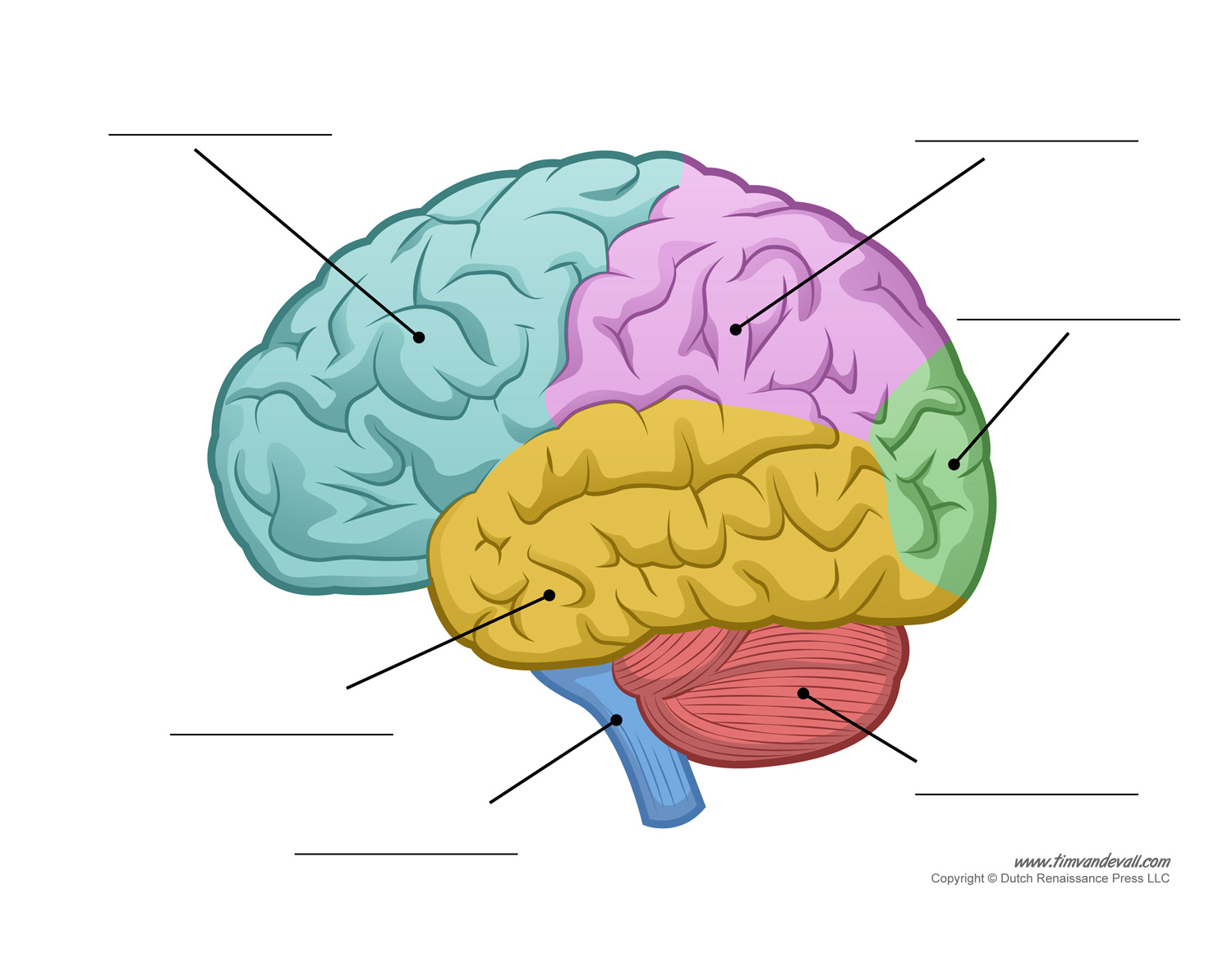 Brain Without Labels Brain Diagram Without Labels Human Brain