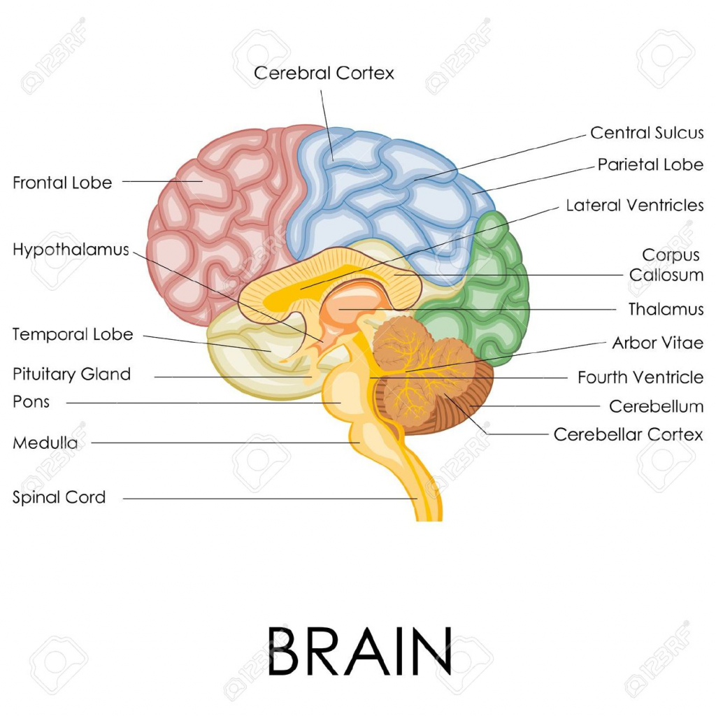 Brain Without Labels Brain Diagram Without Labels In Anatomy Nervous