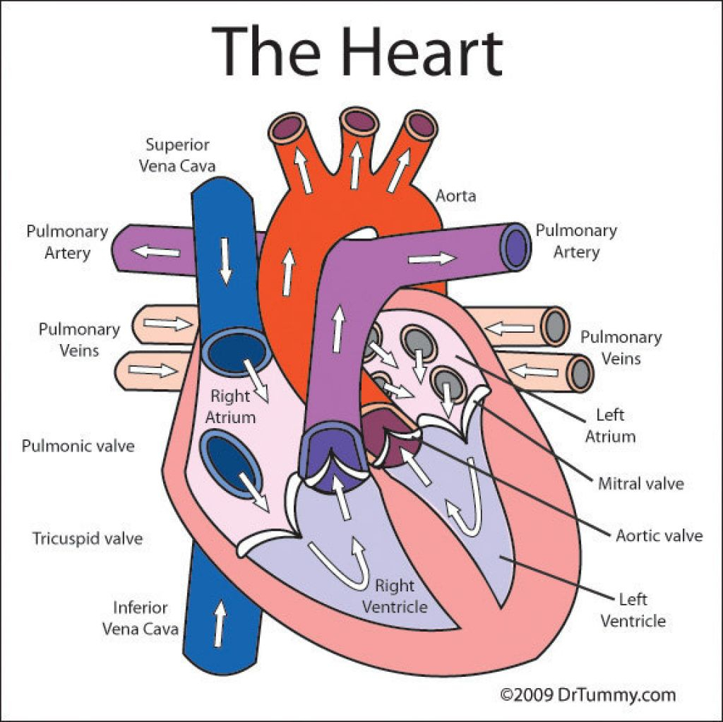 Diagram Of Heart Labelled Labeled Circulatory Anatomy And On Pinterest