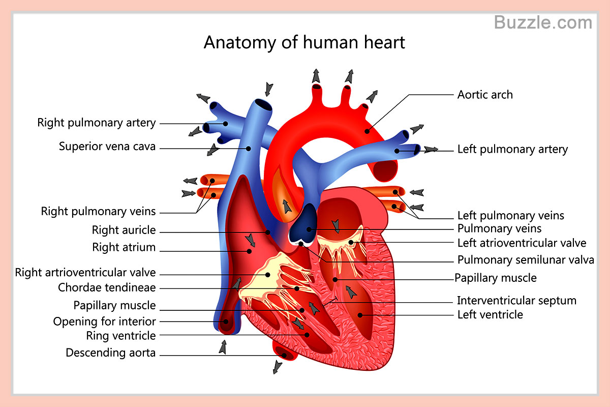 Diagram Of Heart Labelled Labeled Drawing Of The Heart 52 Made By