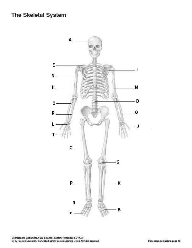 Diagram Of Skeletal System To Label Blankskeleton Abc Made By
