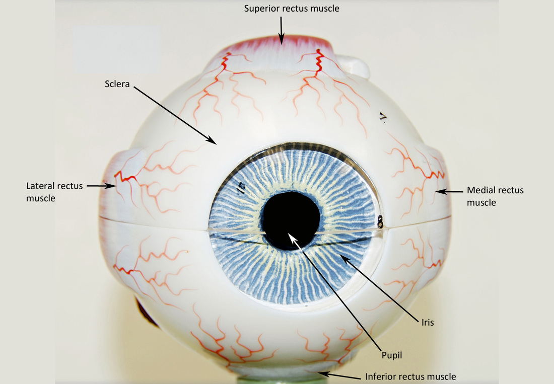 Eye Labeled Diagram Of Human Eye With Labelling Labeled Eye System