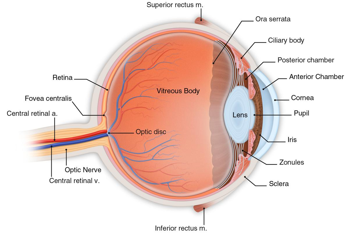 Eye Labeled Labeled Human Eye Labeled Structure Of The Eye Model