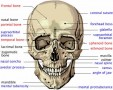 Human Skull Labeled
