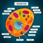Labeled Animal Cell Picture