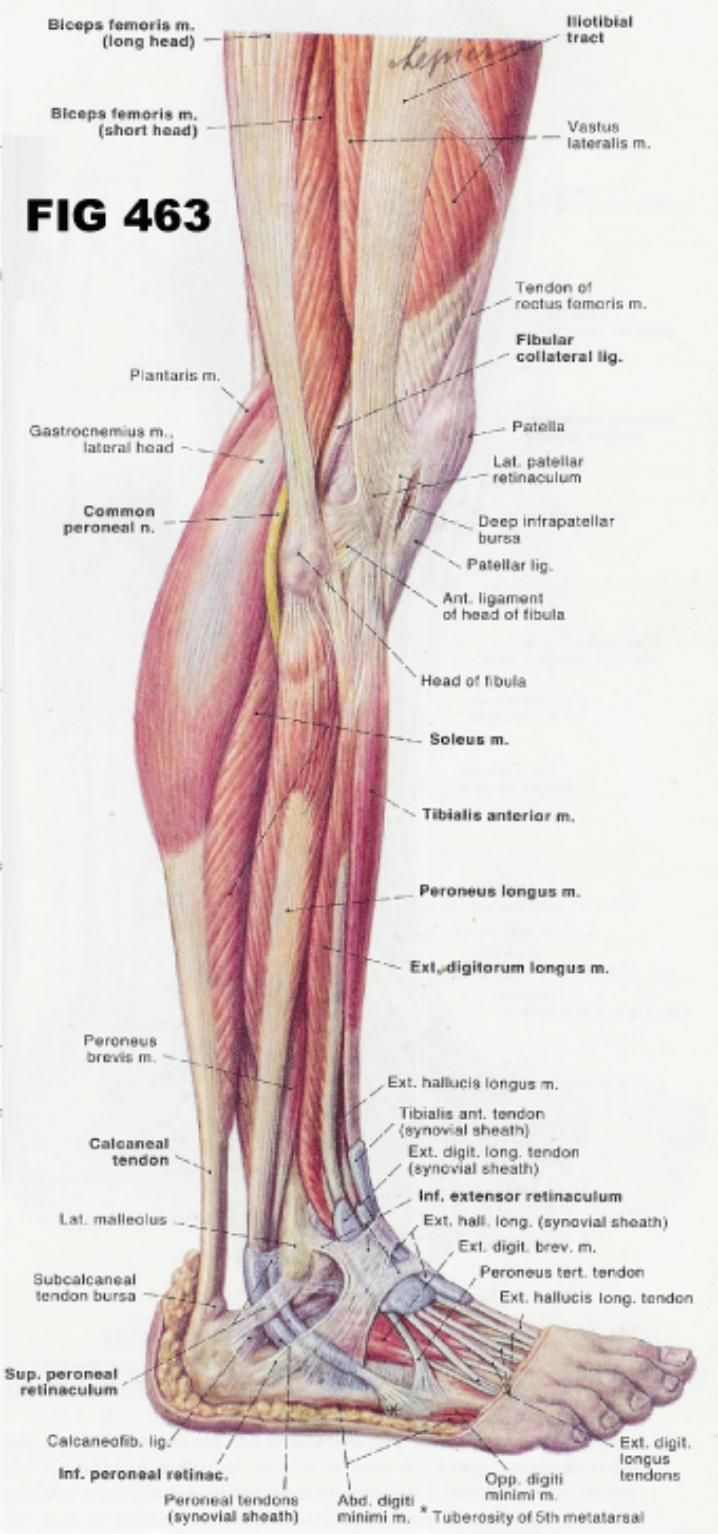 labeled diagram of the human foot human leg anatomy best pictures right visible lateral view thighs knee foot ankle skeleton muscular structure labeled diagram ilustration labeled diagram of the human foot muscles tendons ligaments of the