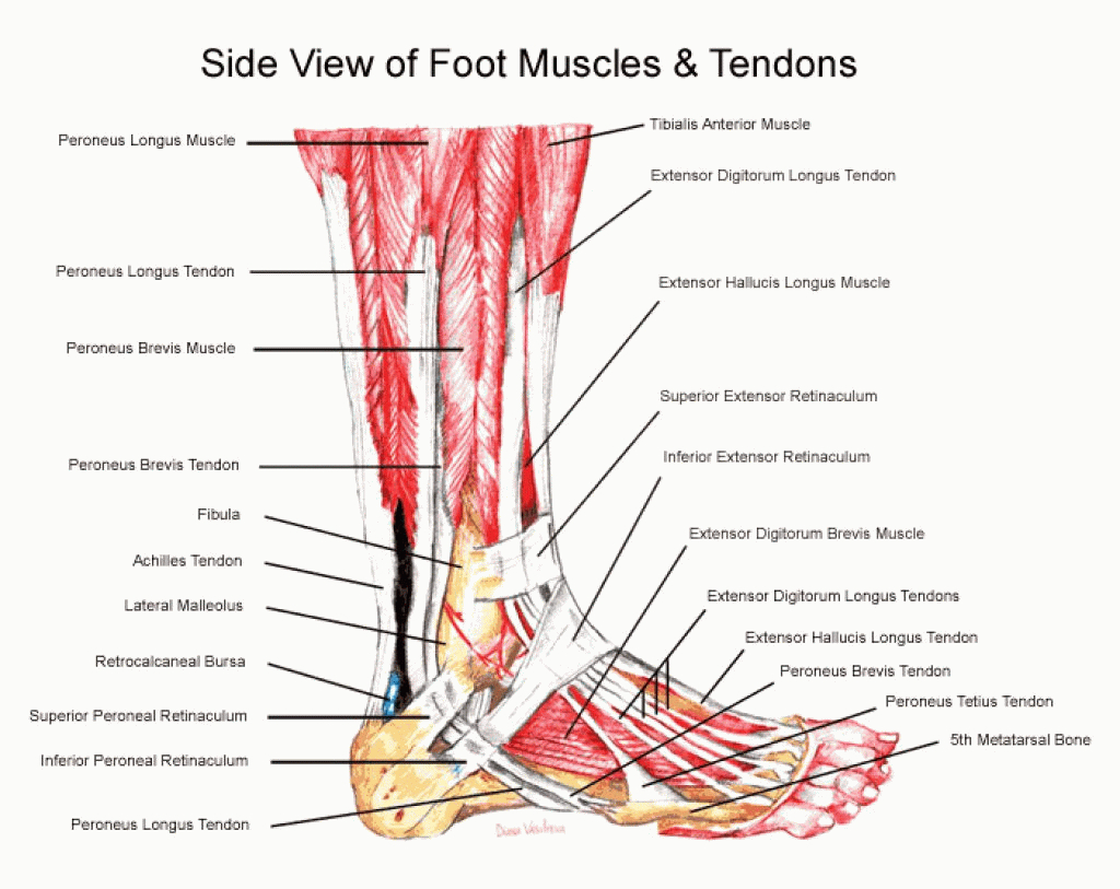 Labeled Diagram Of The Human Foot Human Leg Anatomy Best Pictures