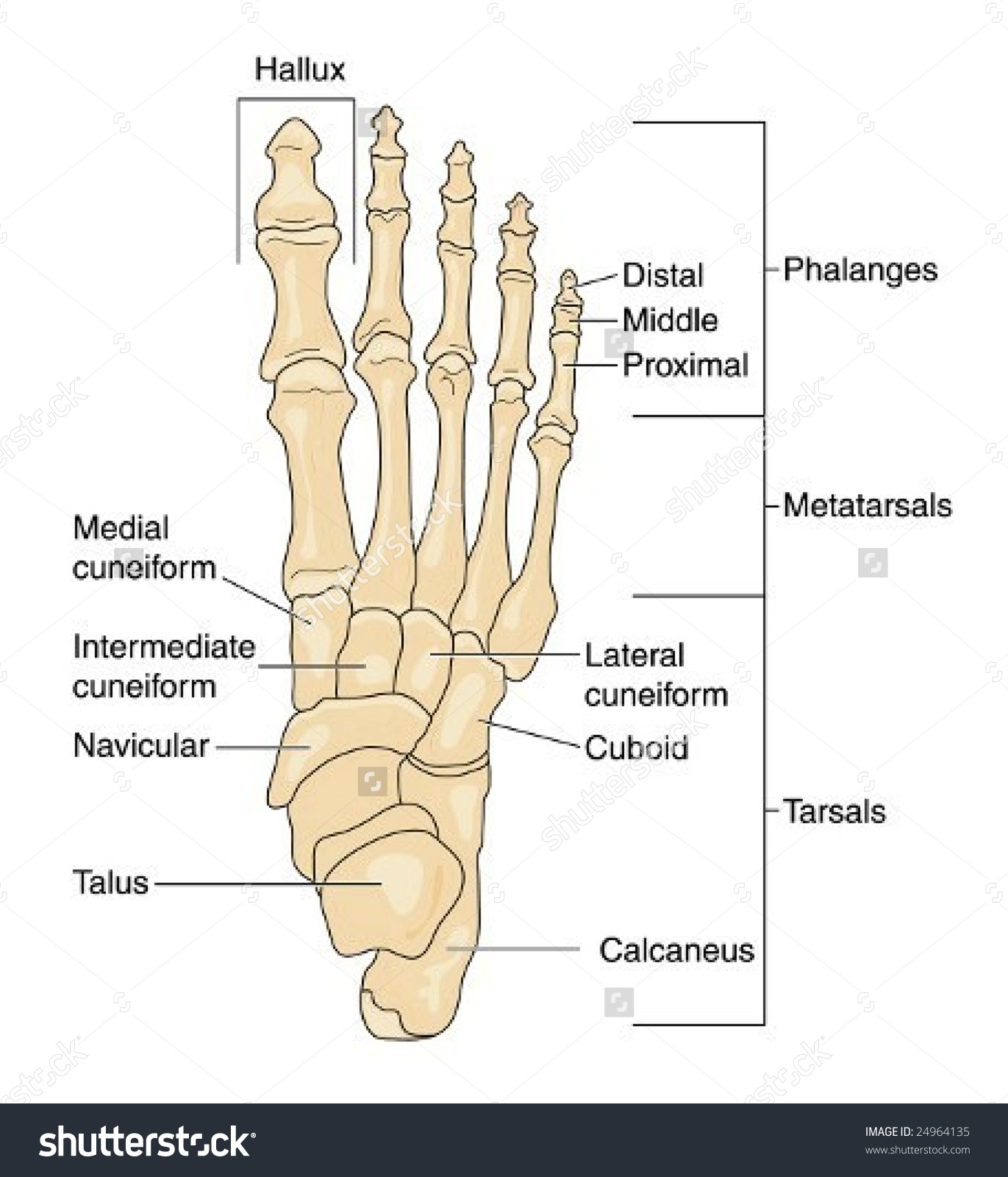 Metatarsal Labeling Diagram Schematic Diagram