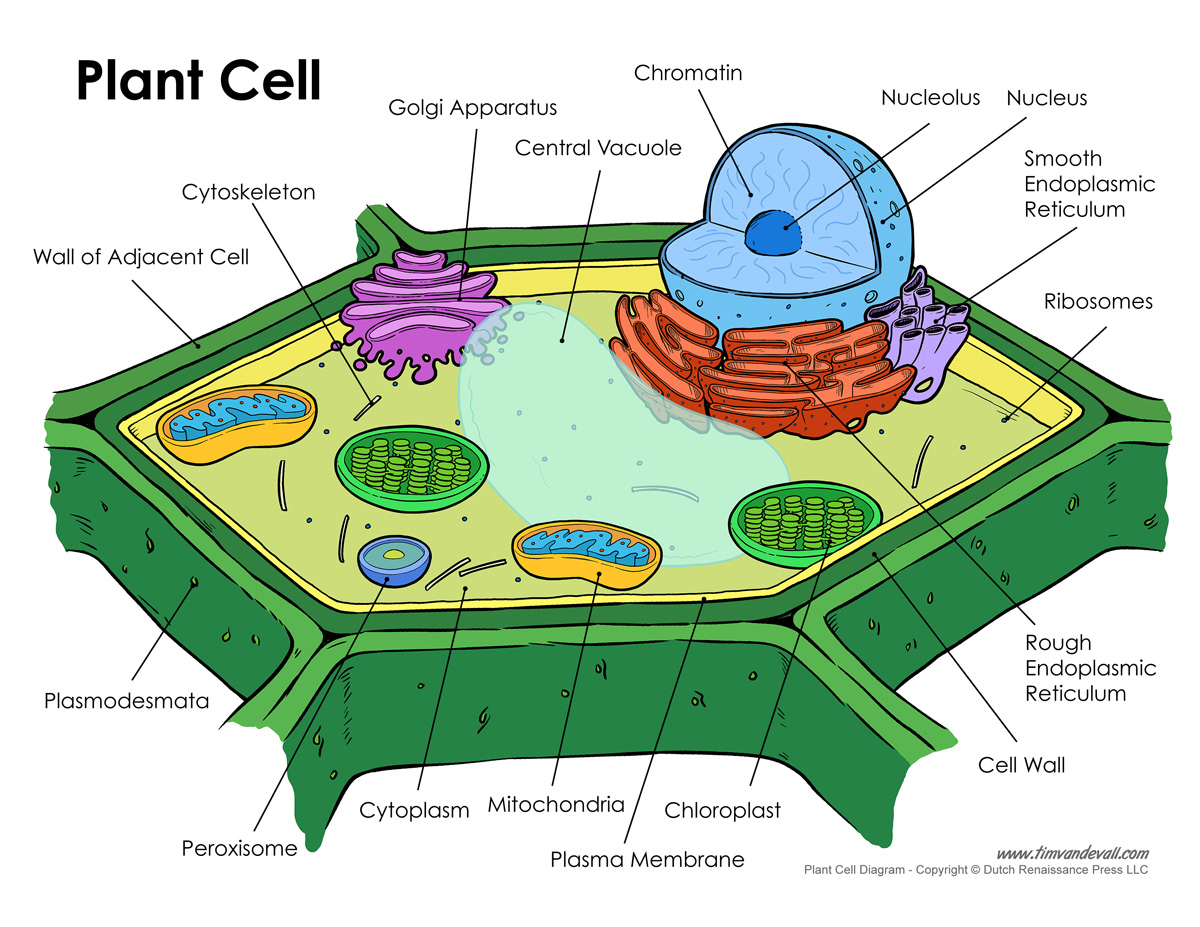 Picture Of Plant Cell With Labels Drawing Pics Photos 3d Diagram Printable Labeled Unlabeled And Blank