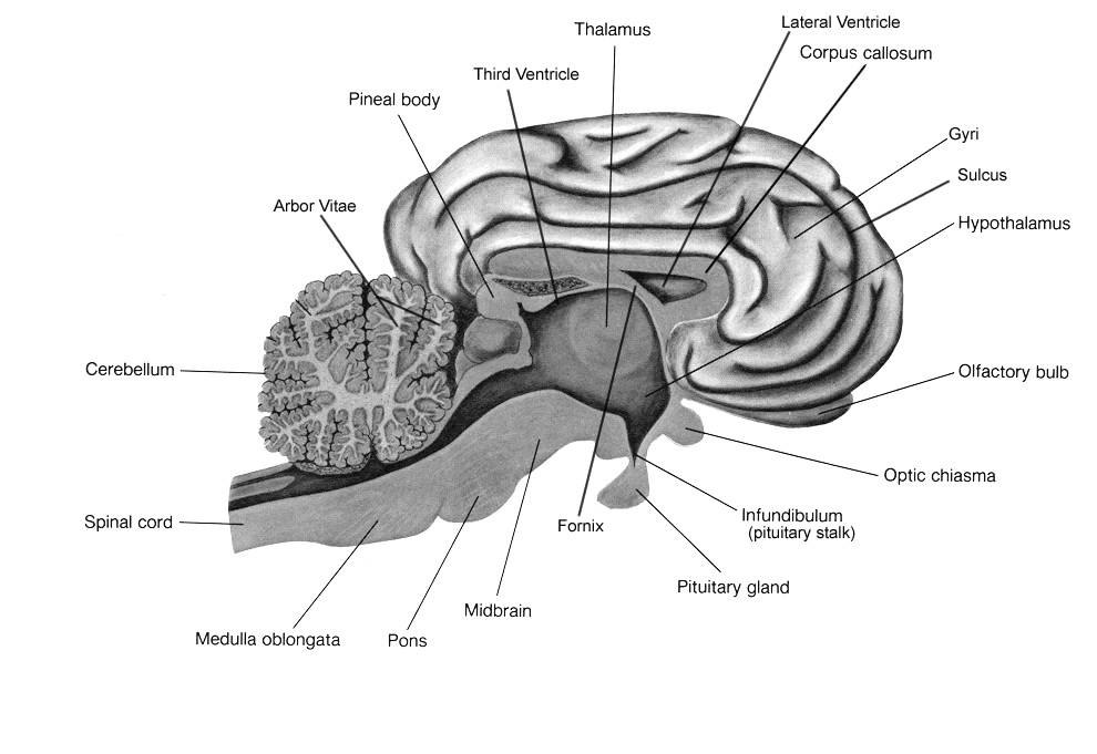 Sheep Brain Labeled Made By Creative Label