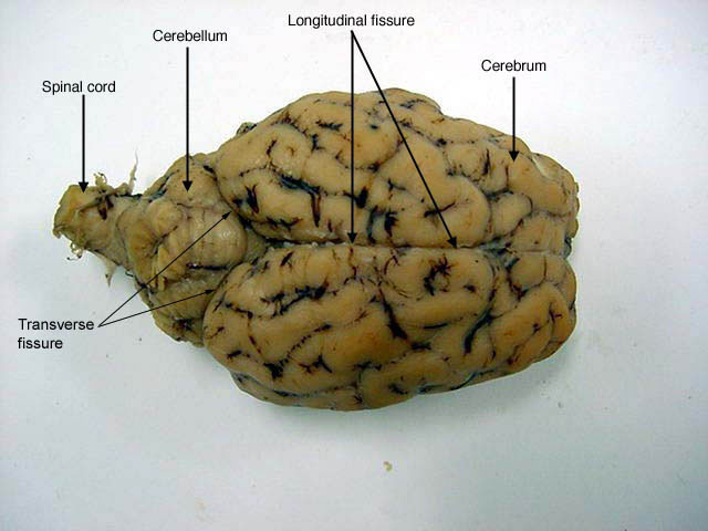 Sheep Brain Labeled - Made By Creative Label