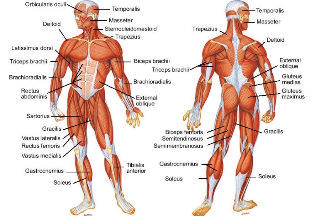 Muscle Diagram Labeled Hip Muscles Diagram Labeled Leg Muscles