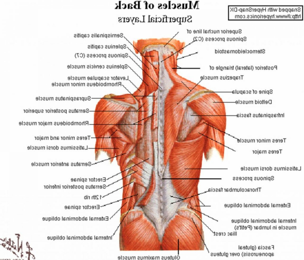 Muscle Diagram Labeled Human The Back Side Body Anatomy Humananatomychartinfo Gallery Charts