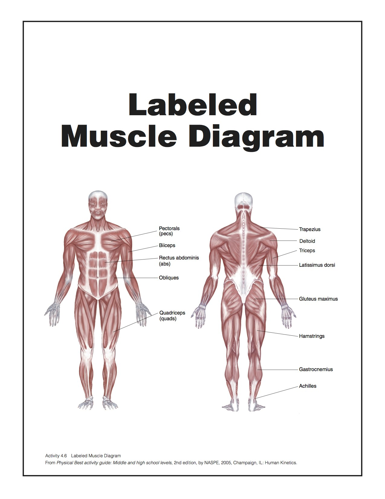 Muscle Diagram Labeled Made By Creative Label Muscles Of The Body Tag Full Human