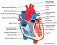 Inside Of Heart Labeled